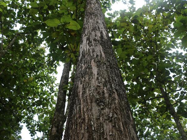 Árvore de Teca