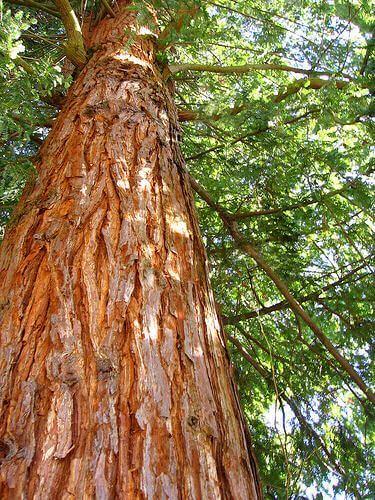 Árvore de Cedro