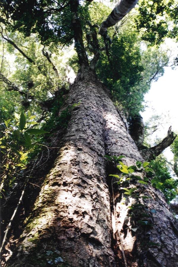 Árvore de Imbuia