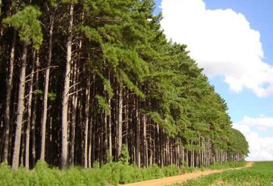 Árvore de Madeira Pinus