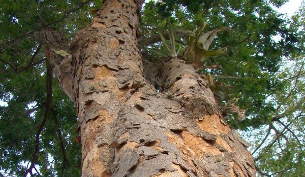 Árvore de Pau Brasil