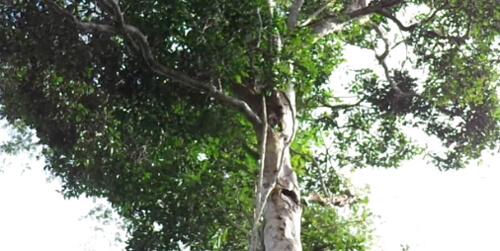 Árvore de Madeira Itaúba