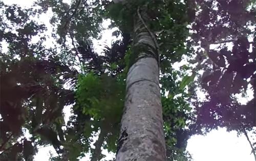 Árvore de Jatoba