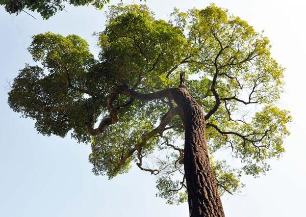 Árvore de Peroba Rosa