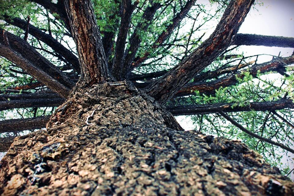 Tronco de árvore de madeira pinho
